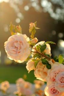 صور ورد وباقات ورد جميلة جدا