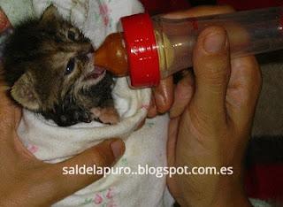 cuidar-gatito-bebe