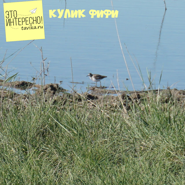 кулик фифи на озере Кызыл Яр