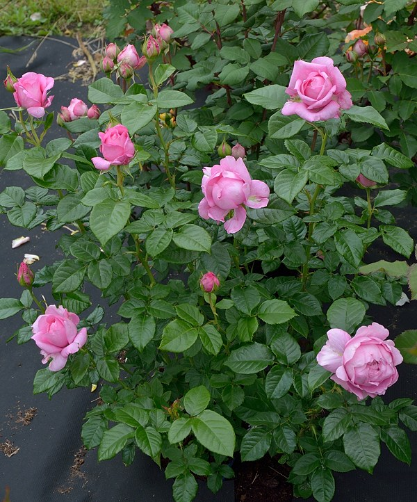 Chantal Merieux сорт розы фото куст Минск саженцы