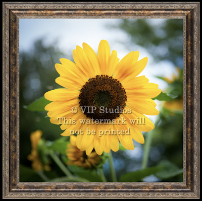Sunflower_6276.png