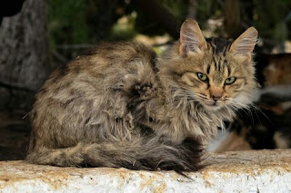 Penyebab dan cara mengatasi kucing stres