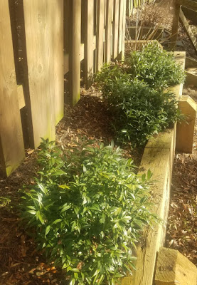 Future Plants By Randy Stewart Sarcococca Sweet Box
