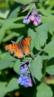 This Hoary Comma (Polygonia racilis) landed on a Chimming Bell on the Black Powder Pass Trail Colorado
