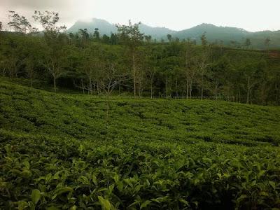 Menikmati Kesejukan Perkebunan Teh Taraju Tasikmalaya