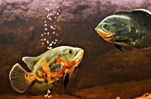 Cara Membedakan Ikan Oscar Jantan Dan Betina Paling Mudah Hobinatang