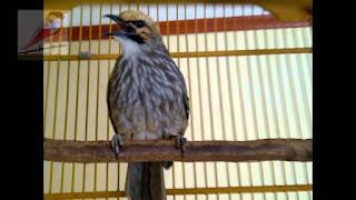 Burung Cucak Rowo - Mengenal Jenis Kelamin Jantan dan Betina Burung Cucak Rowo - Penangkaran Burung Cucak Rowo