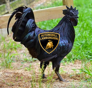 بالفيديو ... الدجاج الاسود الاغلى في العالم والملقب ب lamborghini chicken