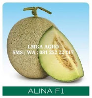 benih melon alina f1, menanam melon alina f1, melon alina cap panah merah, lmga agro