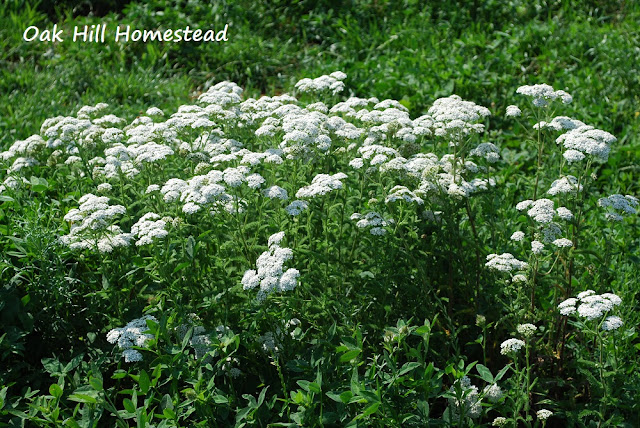 How to harvest and dry yarrow.