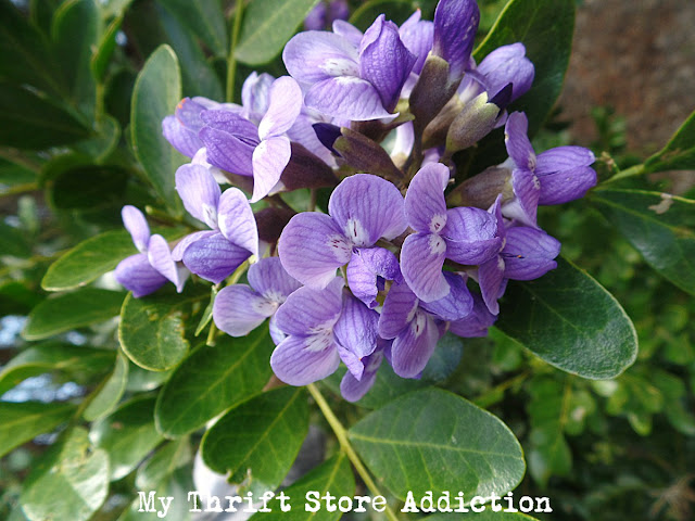 Mountain Laurel at Secret Garden Herbs