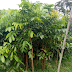 Jual Pohon Mahoni Berbagai Ukuran Harga Murah