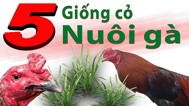 Danh sách các loại giống cỏ nuôi gà tốt nhất hiện nay
