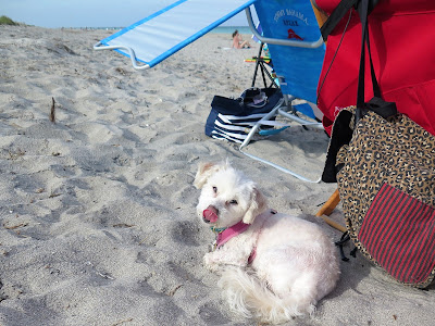 My dog relaxing on Juno Beach, Florida, a dog friendly beach.  Dog friendly beaches in Florida. Dogs on the beach.  Blog hops.