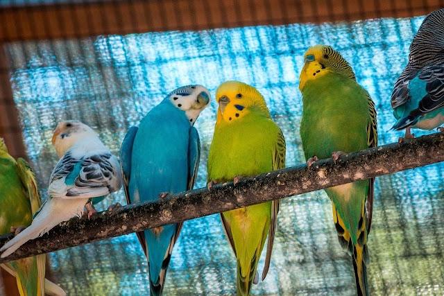 Παπαγαλάκια Budgie: Επτά πράγματα που πρέπει να γνωρίζετε πριν τα αποκτήσετε