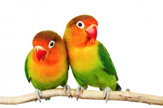 ialah burung nuri kecil dari keluarga lovebird yang ditemukan hingga selesai kala ke Lovebird Fischer (Agapornis fischeri)