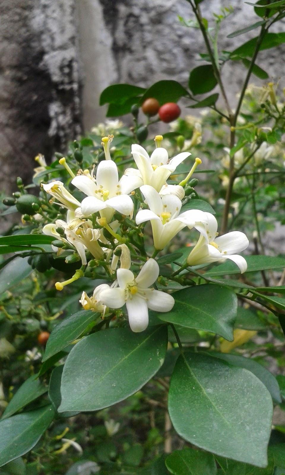 Contoh Bunga Hermafrodit : contoh, bunga, hermafrodit, Mengapa, Bunga, Tanaman, Jeruk, Nipis, Disebut, Hermafrodit, Berbagi, Tanam