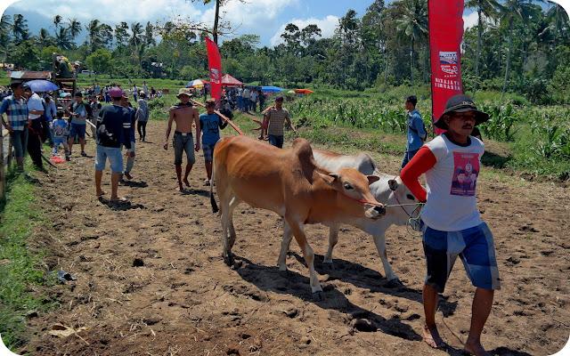 Persiapan+Pacu+Jawi+Tanah+Datar
