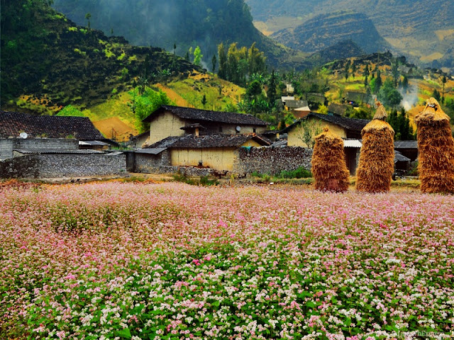 Blend of Buckwheat Flowers During a Trip To Explore Ha Giang Rocky Plateau 2