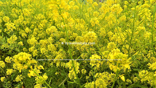 "Flower Broom Pedaso Copyright ""All rights reserved"" © By itravelinitaly.com travelers from Italy Photo by Baldassarri Giuseppe visual storytelling."