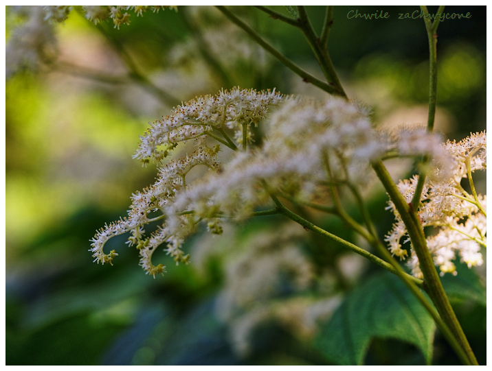 rodgersja stopowcolistna, rodgersja japońska, Rodgersia podophylla