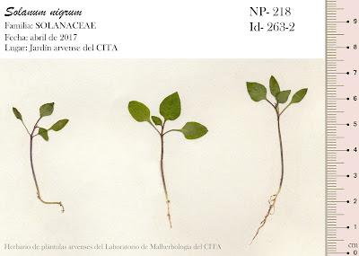 Solanum nigrum