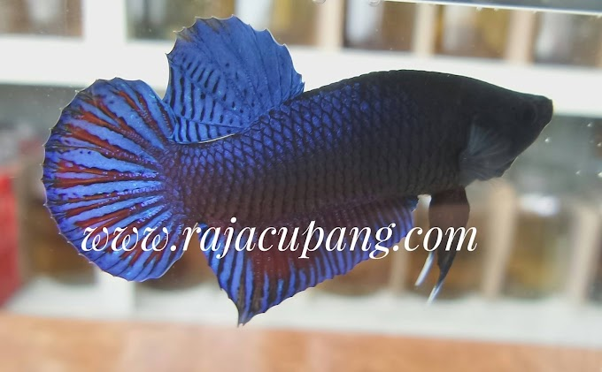 Wild and Fighter Betta Stock for sale