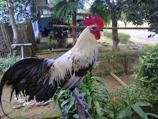 Ternak-Ayam-Ketawa