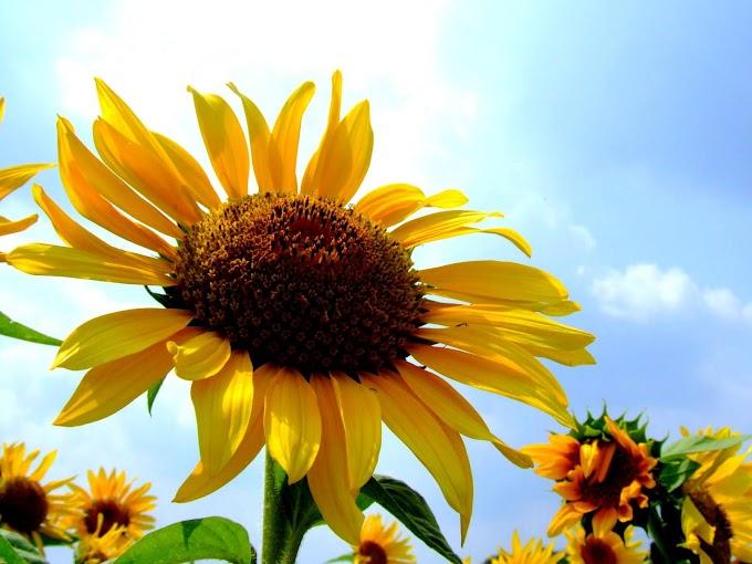 168 #ヒマワリ #花 #向日葵 #黄色