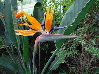 A Bird of Paradise flower in the conservatory at Lauritzen Gardens