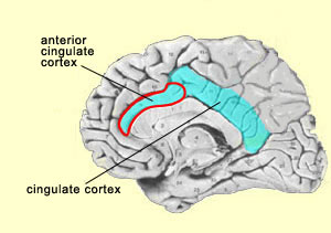 Cortex description