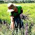 Το σχέδιο για ανάπτυξη της καλλιέργειας αρωματικών φυτών