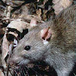 Why Does Seattle Have A Rat Problem?