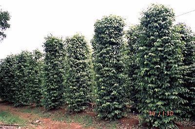 Plantio da cultura de pimenta do reino