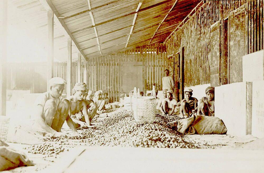 Nutmeg processing in Banda Islands, circa 1899-1900