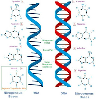 perbedaan dna dan rna dalam tabel,perbedaan dna dan rna pdf,perbedaan mitosis dan meiosis,perbedaan dna dan rna dalam biologi,persamaan dna dan rna,