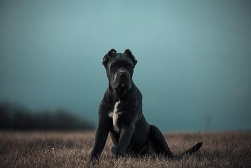 كلب باندوج