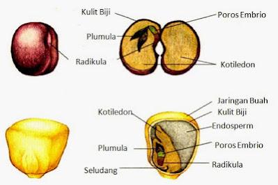 Gambar anatomi biji kacang dan biji jagung