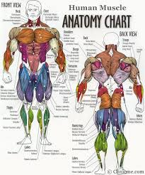 bodybuilding anatomy chart