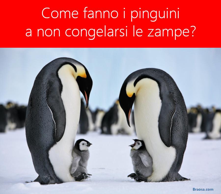 Perchè ai pinguini non congelano le zampe nonostante il freddo?