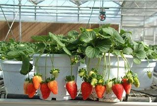 cara menanam stroberi dalam pot