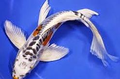 Jenis Ikan Hias Air Tawar Yang Mudah Dipelihara Kumpai