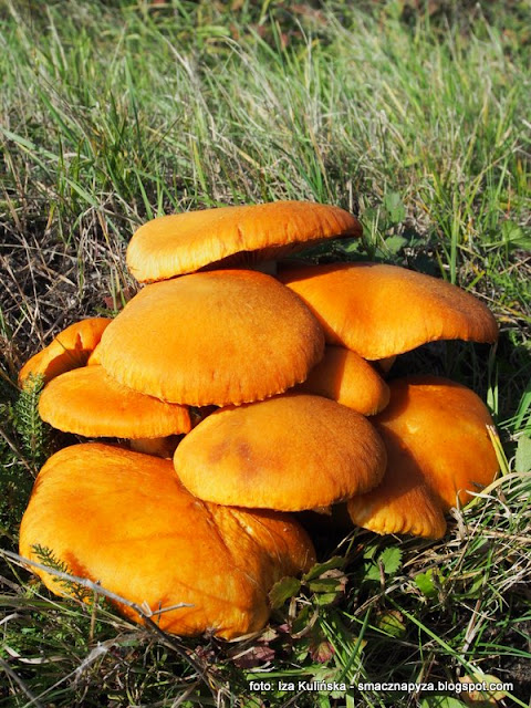 lysak wspanialy, lysaki wspaniale, atlas grzybow, jaki to grzyb, grzyby gatunkami, grzybobranie, kepa grzybow, grzybek