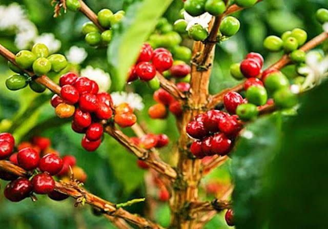 Giá cà phê hôm nay 8/6: Đồng loạt tăng 100 đồng/kg đến 200 đồng/kg