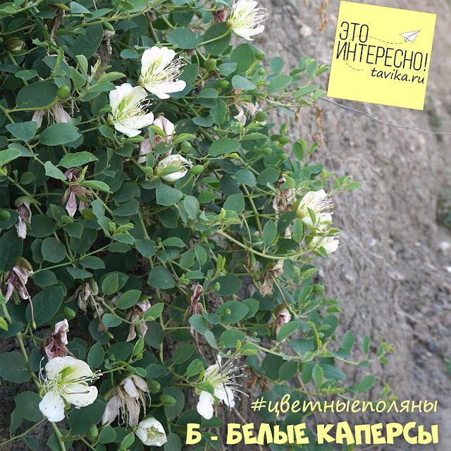Цветы каперса, Крым