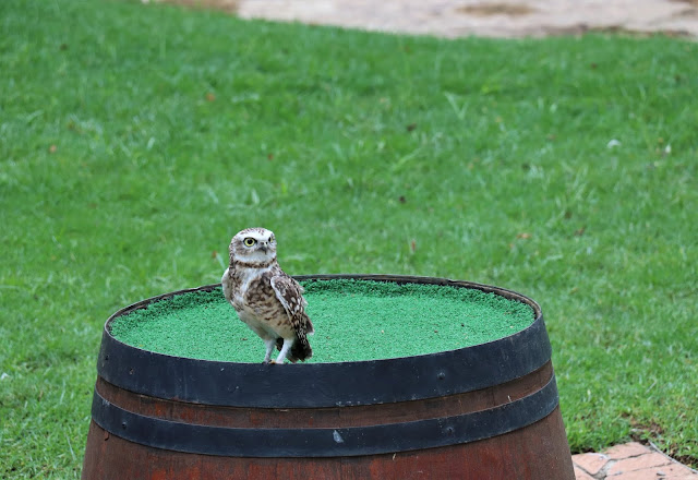 Owl On Its Own @MontecasinoZA #BirdGardens #PhotoYatra #TheLifesWayCaptures