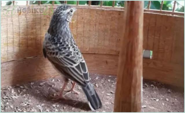 Kali ini kami akan membahas salah satu burung yang mungkin sekilas ibarat burung kenari ya Perawatan Harian Burung Beranjangan