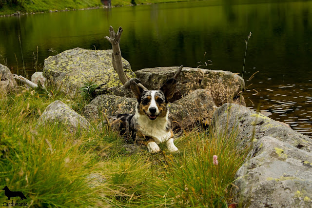ki park narodowy z psem, welsh corgi, welsh corgi cardigan, corgiki park narodowy z psem, welsh corgi, welsh corgi cardigan, corgi