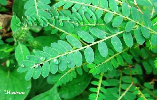 Berikut ini tanaman obat yang sering kita anggap sebagai rumput ternyata memiliki khasiat dan manfaat bagi kesehatan.