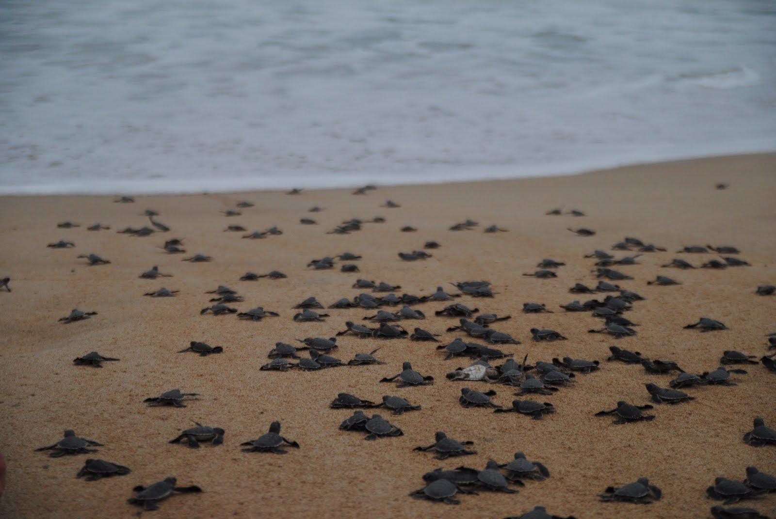Mela verde news milioni di tartarughe marine olive ridley for Tartarughe grandi